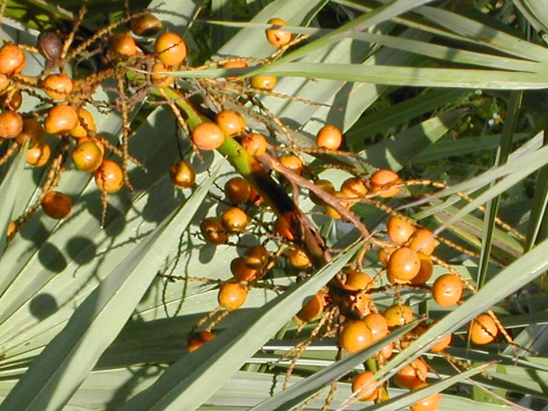 !!!!serenoa-gold-fruits