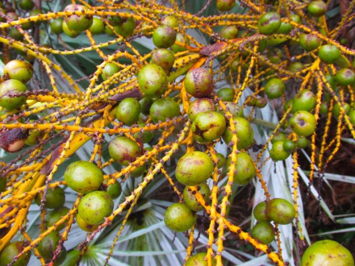 serenoa-repens-fruits-unripe