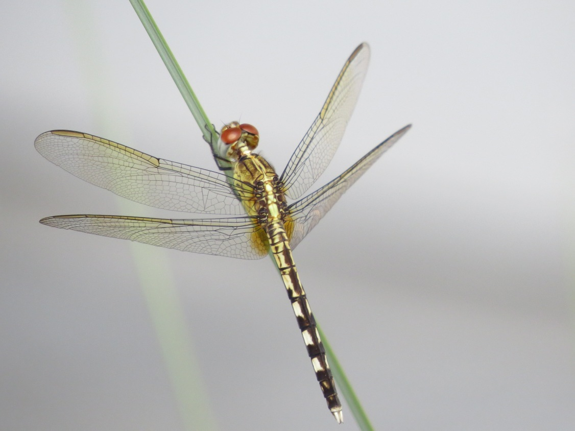 band-winged dragonlet2