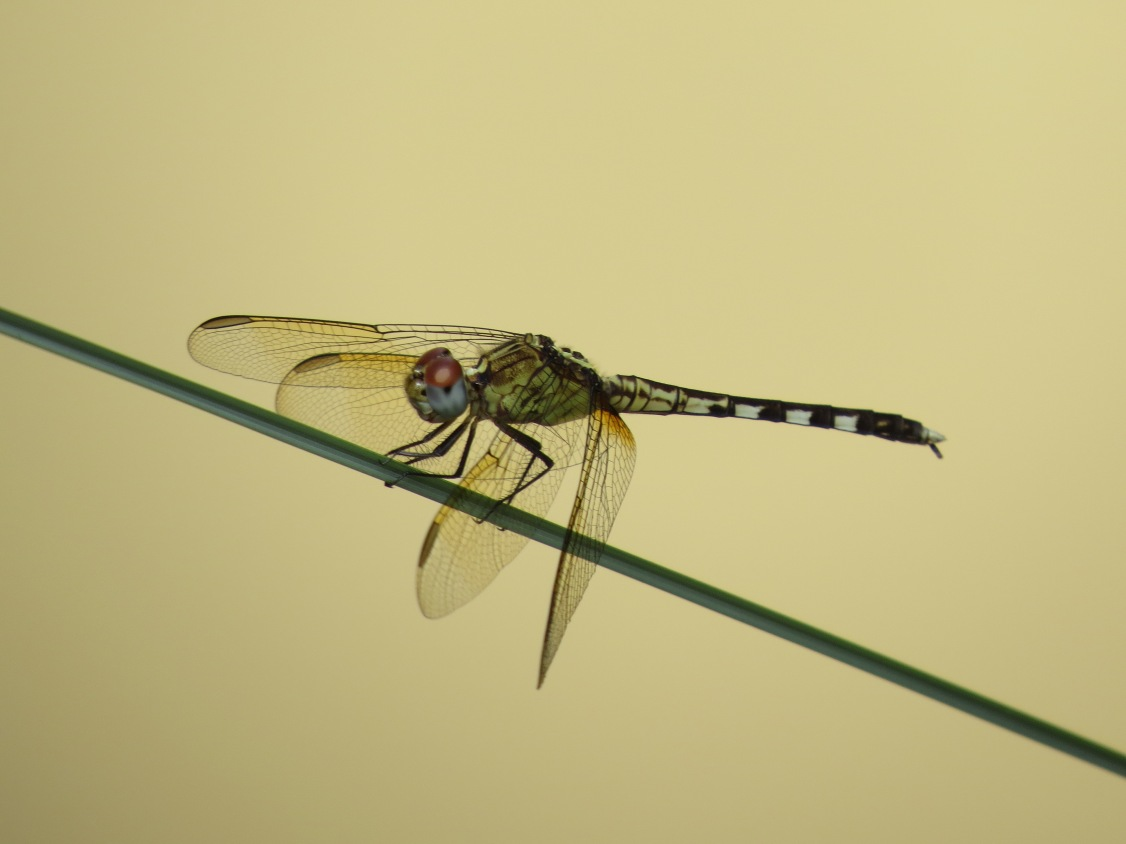 band-winged dragonlet3