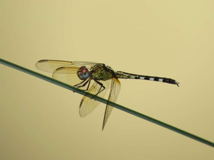 band-winged dragonlet3