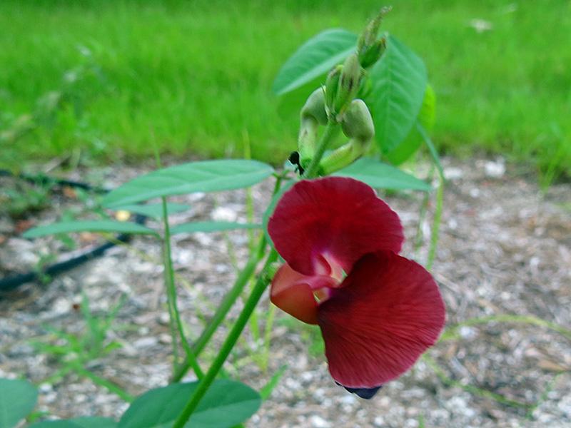 !!!!macroptiliumlathryoides-flower