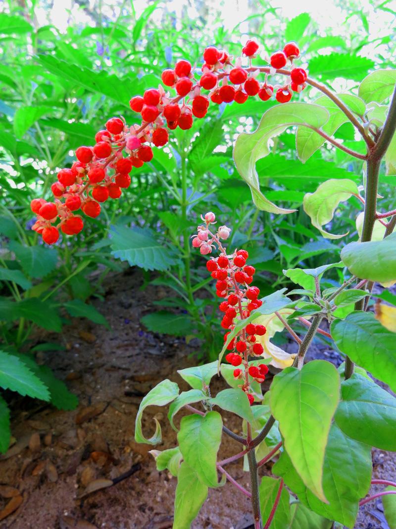 !!!!rivina-humilis-fruit1