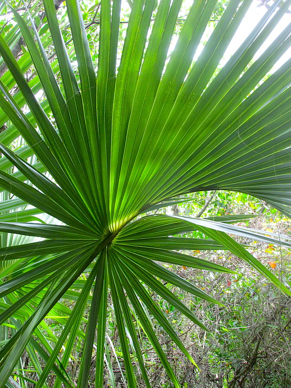 sabal palmetto - costapalmate copy