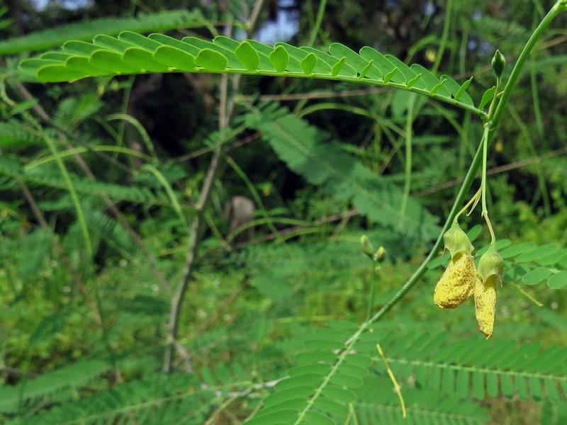 !!!!sesbania-herbacea-flowers