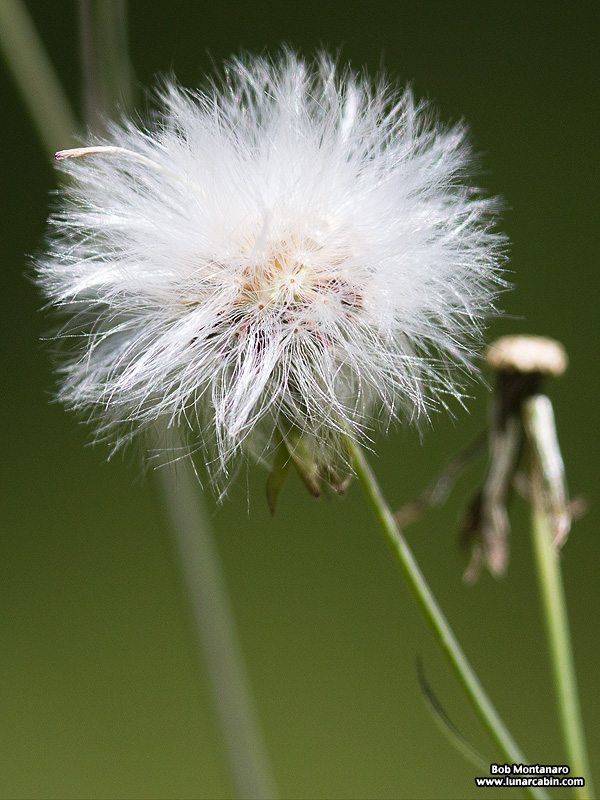 Emilia sonchiflora seed head by bob montanaro