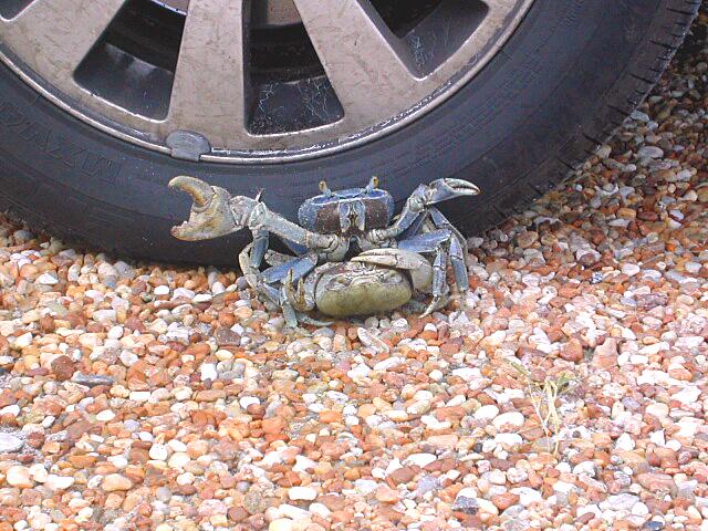 !land-crab-DSCN1775