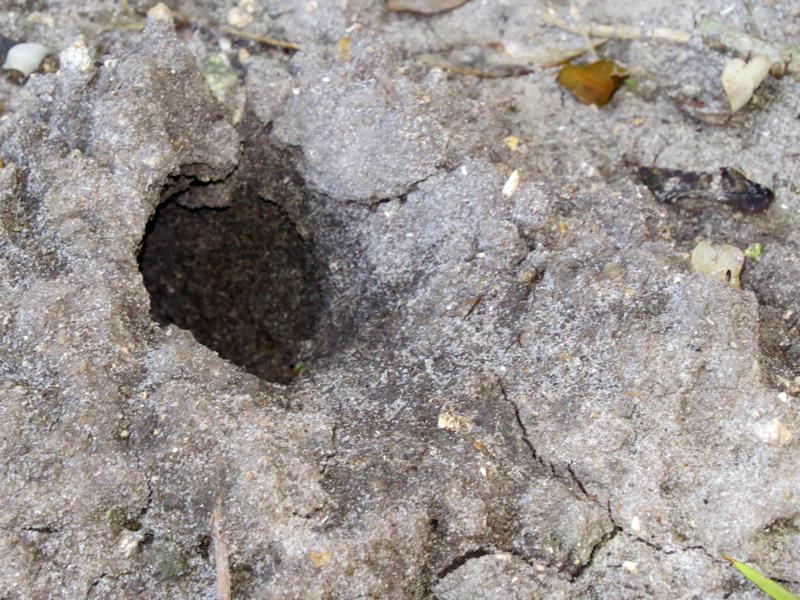 !!!!land-crab-hole