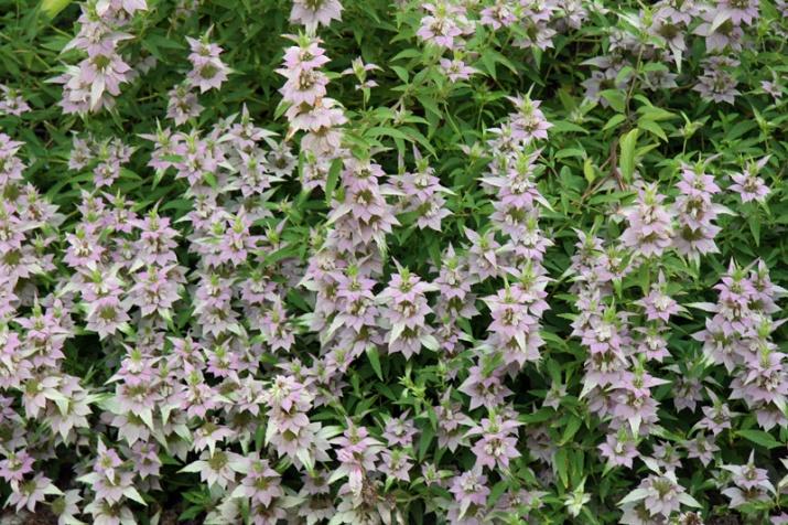 !!!!lots-of-monarda-blossoms