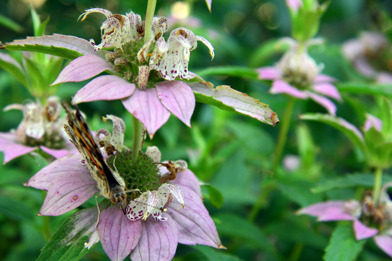 !!!!painted-lady-on-monarda-looking-at-you