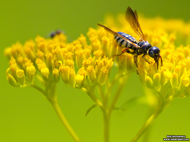 wasp on flaveria linearis