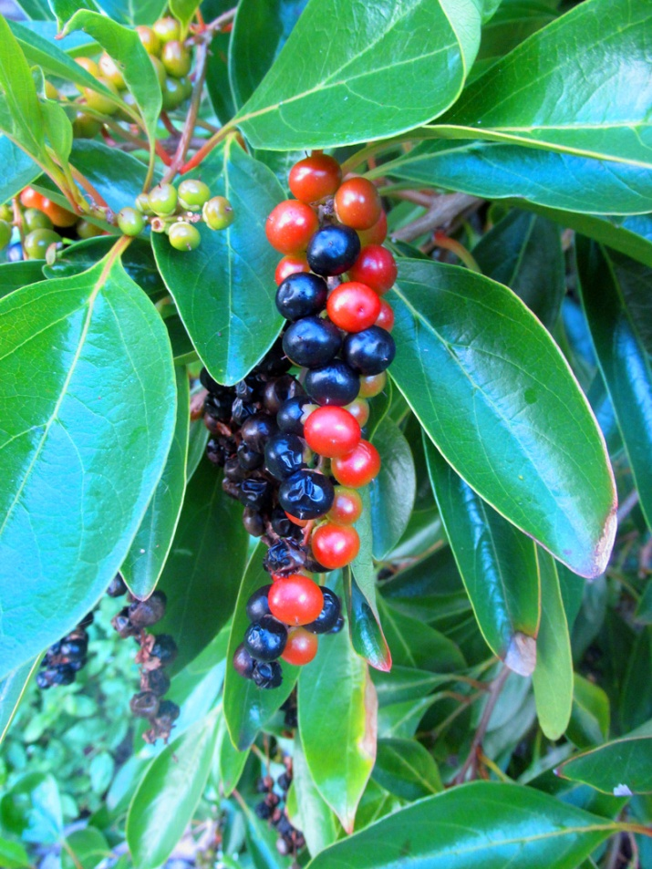 !!!!cithaxerylum-spinosum-fruits