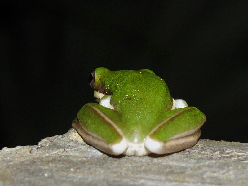 !!!!green-tree-frog-rear-end