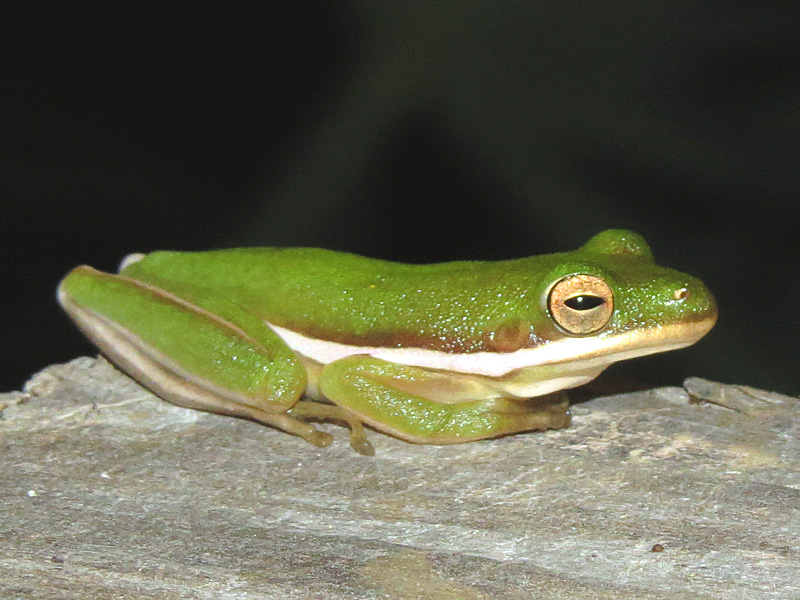 !!!!green-tree-frog1