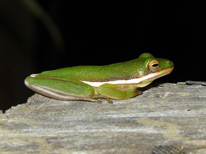 !!!!green-tree-frog2
