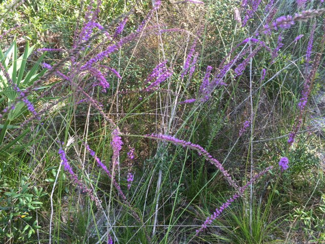 liatris at sorca1 by kg