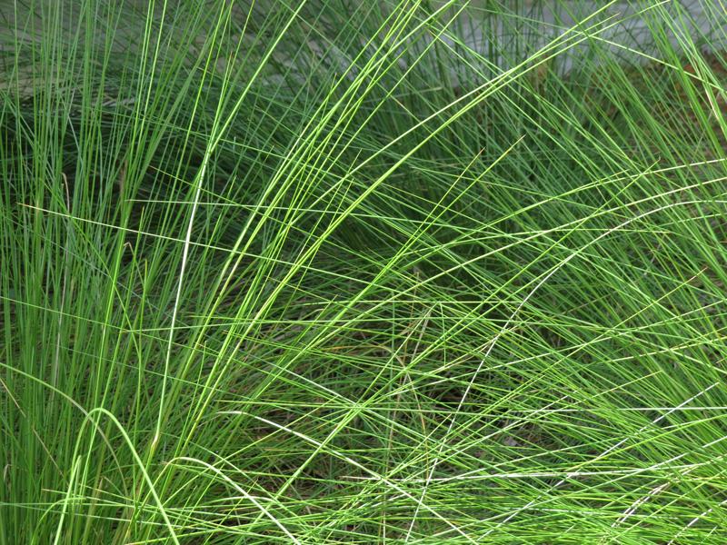 !!!!mulhlenbergia-capillaris2