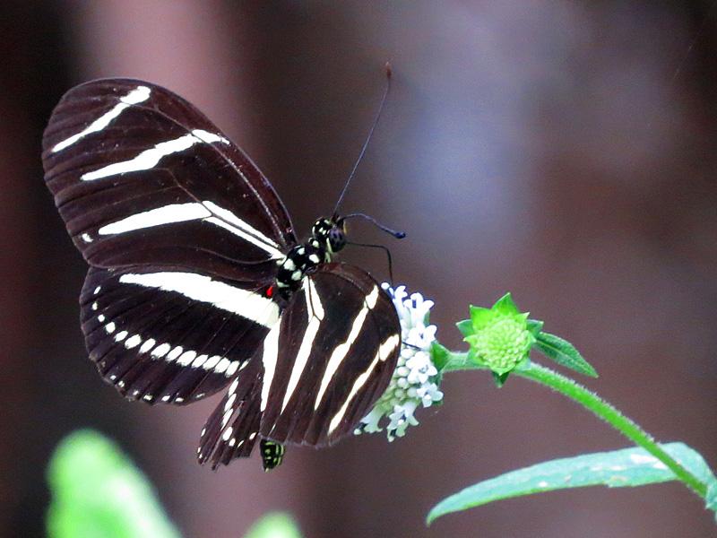 !!zebra-longwing-on-nivea