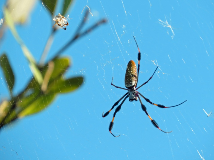!!!!golden-orb-eaver-with-prey2