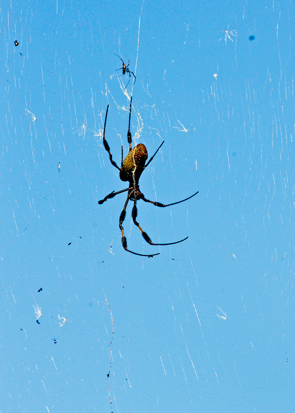!!!!golden-orb-weaver---male-&-female-by-ks