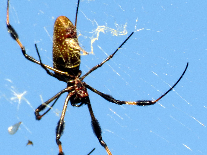 !!!!golden-orb-weaver-silk-closeup