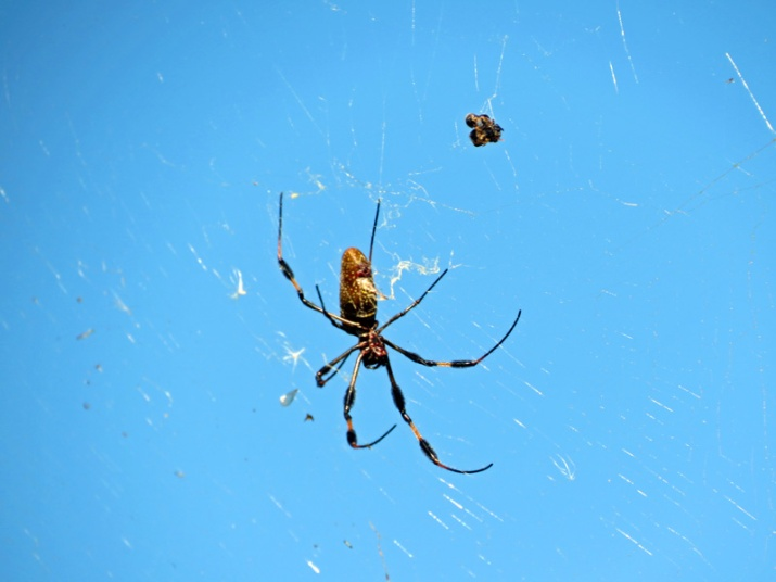 !!!!golden-orb-weaver-with-prey