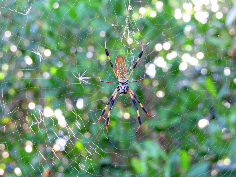 !!!!golden-orb-weaver
