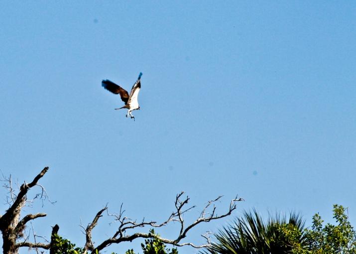 !!!!osprey-at-spoonsbill-by-ks