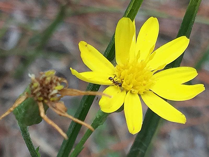 !!!!pityopis-graminifloia-@-12-mile-swamp