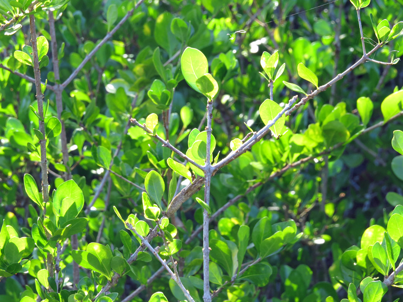 !!!!randia-aculeata---branching