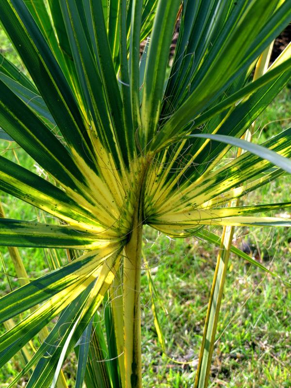 !!!!sabal-palm-variegated1