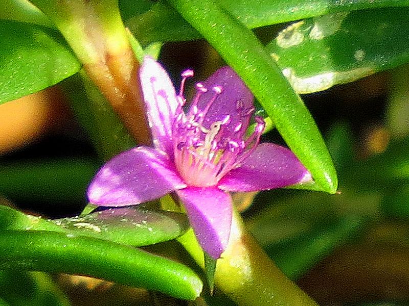 !!!!sesuvium-flower-closeup