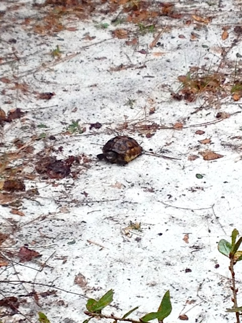 gopher tortoise baby by lani york