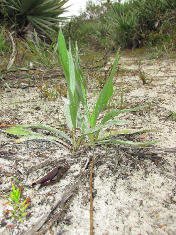 !!!!pityopsis-gramifolia---habit