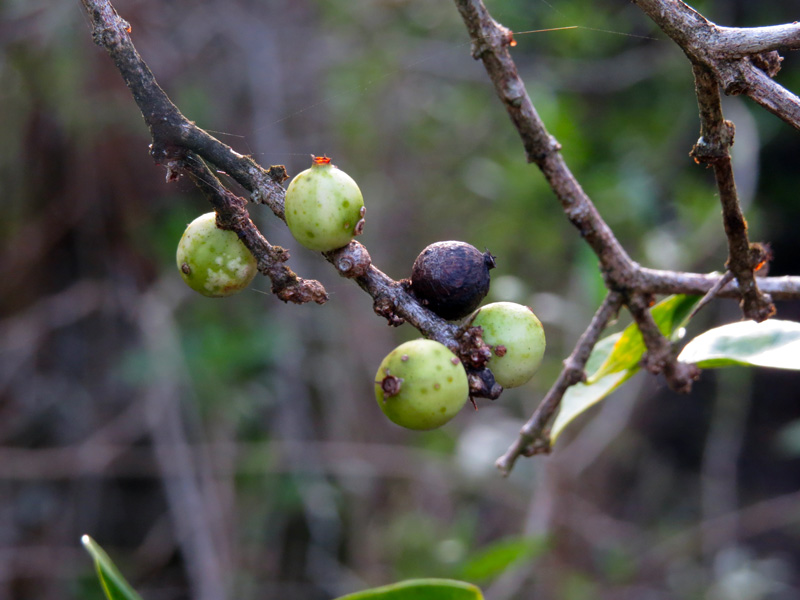!!!!randia-culeata-fruit1