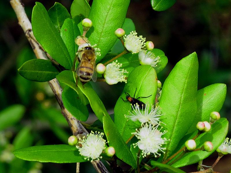 !!!!myrcianthes-w-bee-&-love-bug