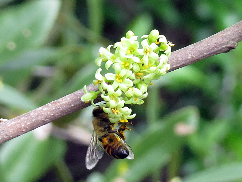 !!!!bee-on-toxicodendron