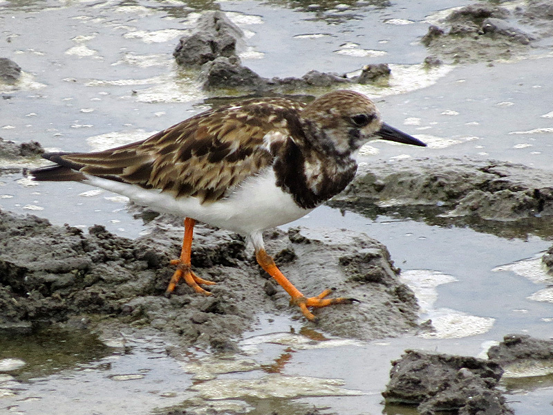 !!!!ruddy-turnstone-closeup