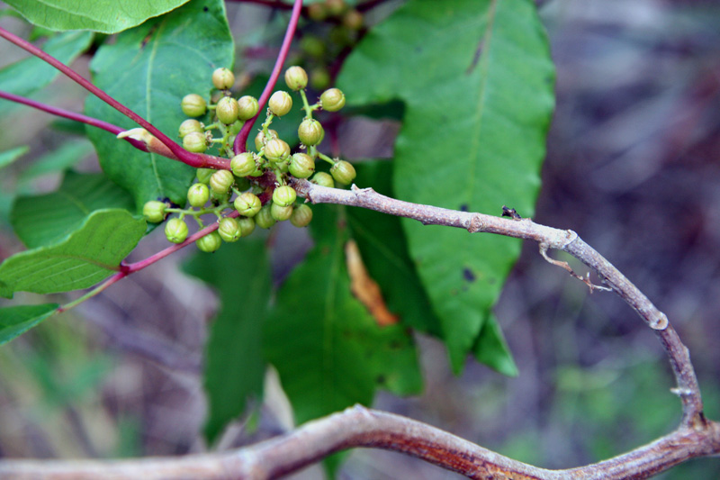 !!!!toxicodendron-radicans-(6)--thick