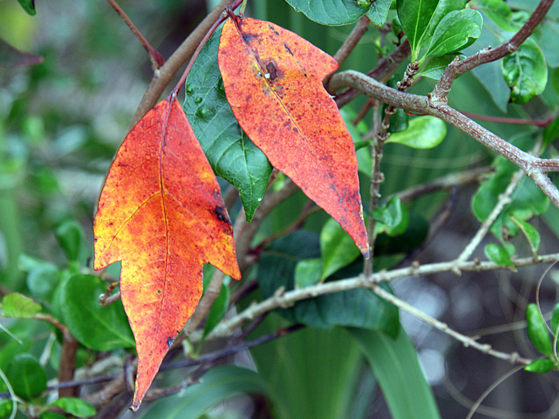 !!!!toxicodendron-radicans-fall-color-cbcp