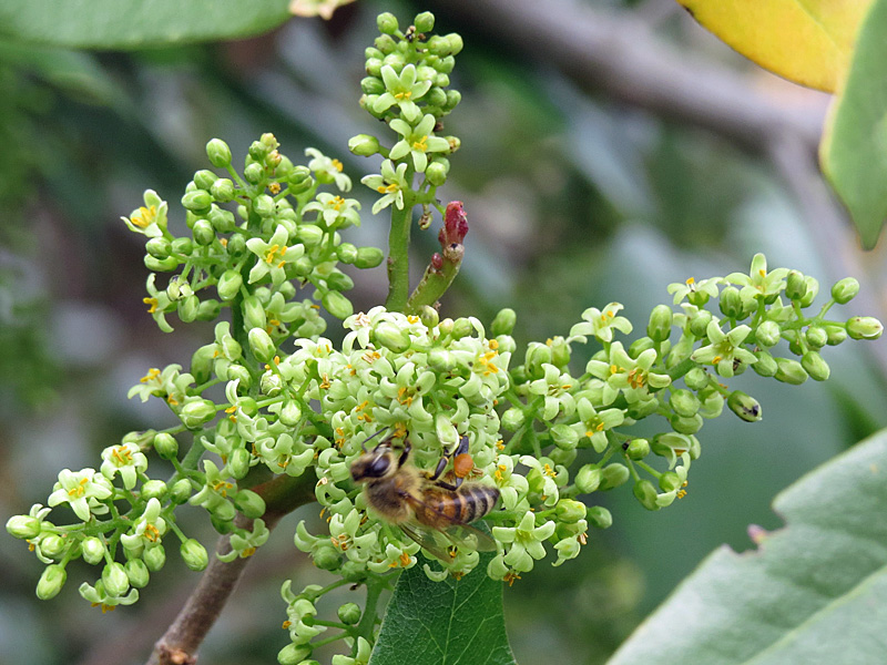 !!!!TOXICODENDRON-W-BEE'