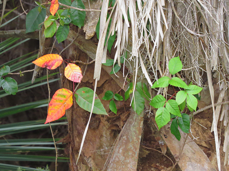 !!!!toxicodendron-w-red-&-yellow-foliage-in-spirng