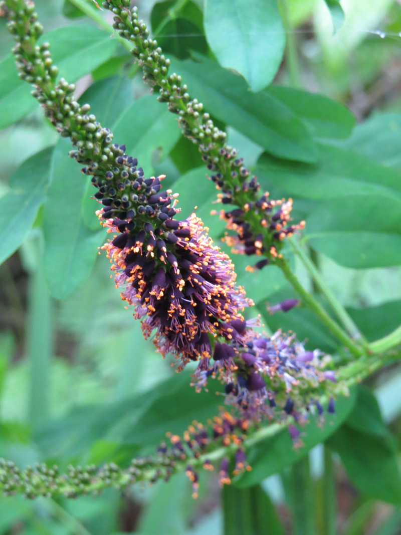 !!!!amorpha-fruticosa-flower-spike