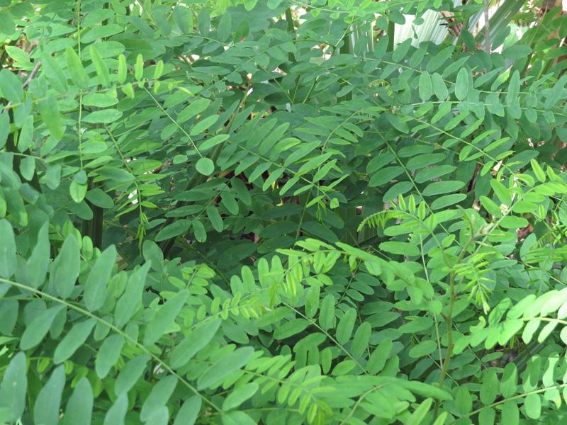 !!!!amorpha-fruticosa-foliage2