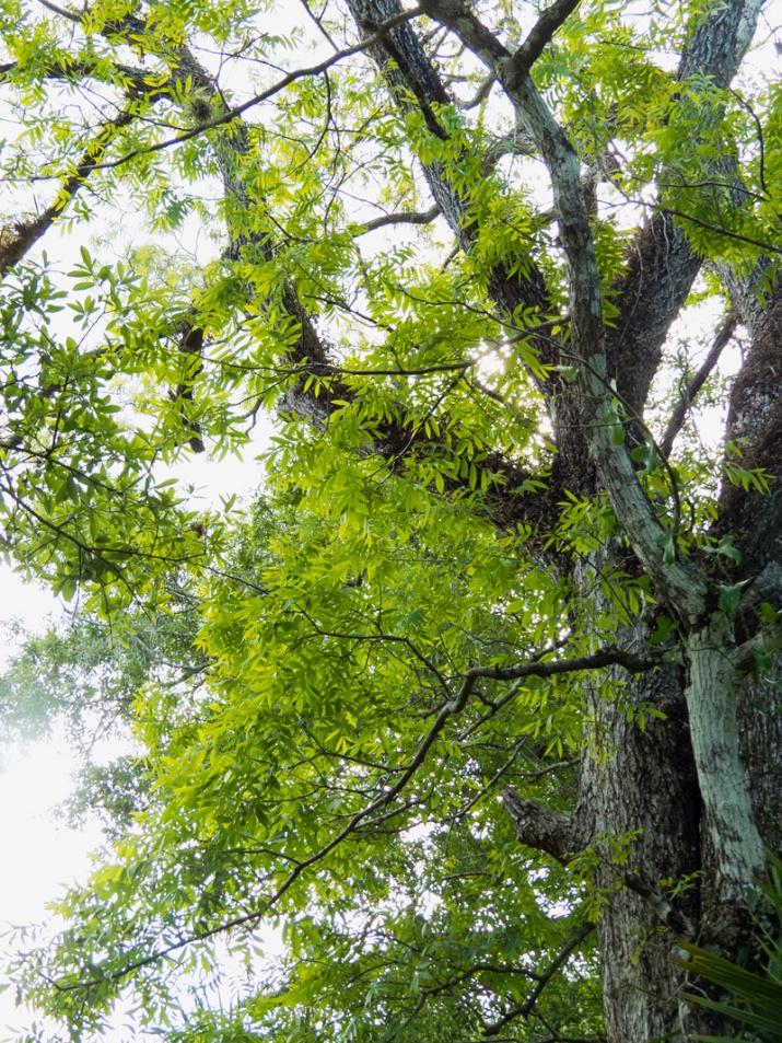 !!!!carya-aqautic---new-foliage