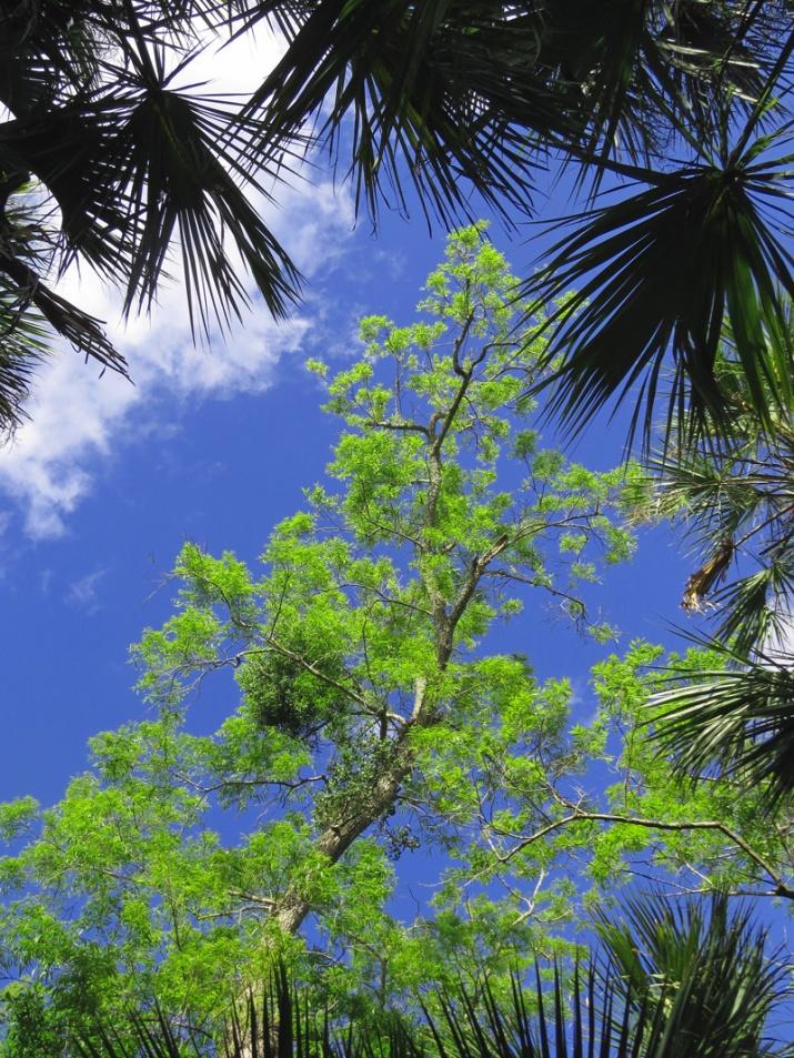 !!!!carya-aquatica-new-foliage2