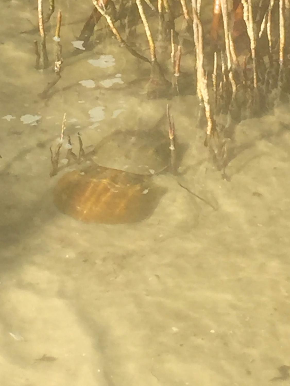 !!!!horseshoe crabs at bic