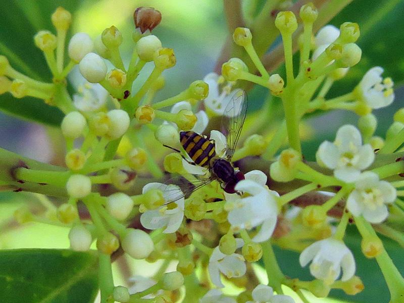 !!!!!insect-on-prunus-carolinanum
