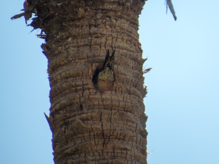 !!!!woodpecker-going-into-sabal-palm