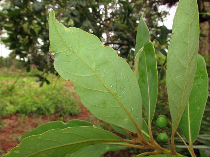 !!!!persea-borbonia---unripe-fruit